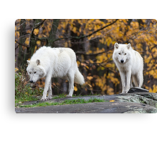 Pair of Arctic Wolves in fall Canvas Print