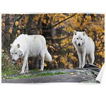 Pair of Arctic Wolves in fall Poster