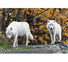 Pair of Arctic Wolves in fall Photographic Print