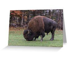 American Field Buffalo grazing Greeting Card