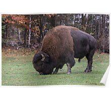 American Field Buffalo grazing Poster