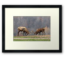 Elk in a fight Framed Print
