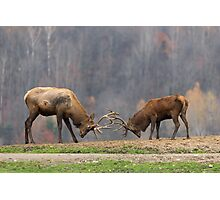Elk in a fight Photographic Print