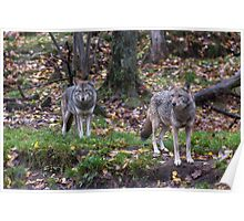 Pair of coyotes in a forest Poster