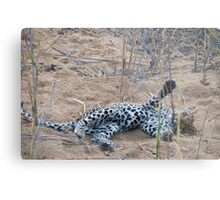 Leopard cub playing with reeds Metal Print