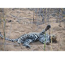 Leopard cub playing with reeds Photographic Print