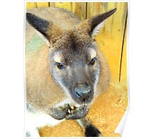 Curious Wallaby Poster