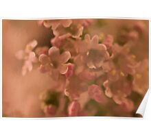 Valarian Blossoms Macro - Digital Oil Painting Poster
