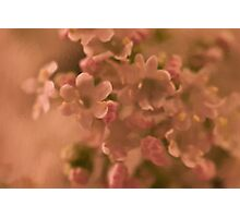 Valarian Blossoms Macro - Digital Oil Painting Photographic Print