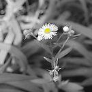 Dreaming Up Daisies by Littlehalfwings