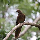 Brown Cuckoo-Dove by aussiebushstick