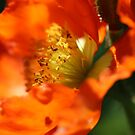 Poppy Sun by Deanna Roberts Think in Pictures