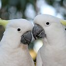 The Sulphur-crested Cockatoo by Robyn J Blackford by aussiebushstick