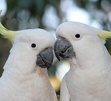 Sulphur-crested Cockatoos by aussiebushstick