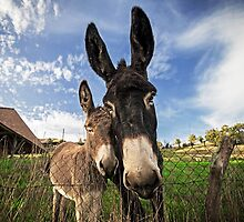 Donkeys! by TonyPriestley