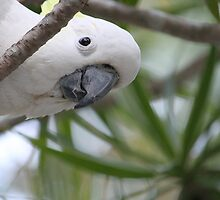 """Hello"" Sulphur-crested Cockatoo by aussiebushstick"