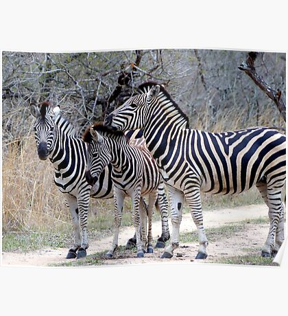 Striking Looking Stripes - Zebra - South Africa Poster