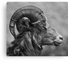 Bighorn Sheep Canvas Print