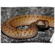 Northern Brown Snake #1  Poster