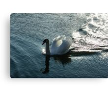 Silver Wake - the Pompous Territorial Swan Canvas Print