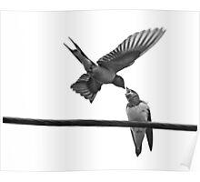 Feeding Baby Swallow Poster