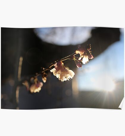 Cherry Blossoms in the Fall Poster