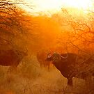 African buffalo (Syncerus caffer) at dusk by Shannon Benson