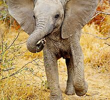 AFRICAN WILDLIFE by Shannon Benson