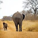 African Elephant (Loxodonta africana) mother and baby by Shannon Benson