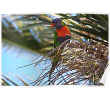 Australian Rosella High Up In A Palm Tree Poster