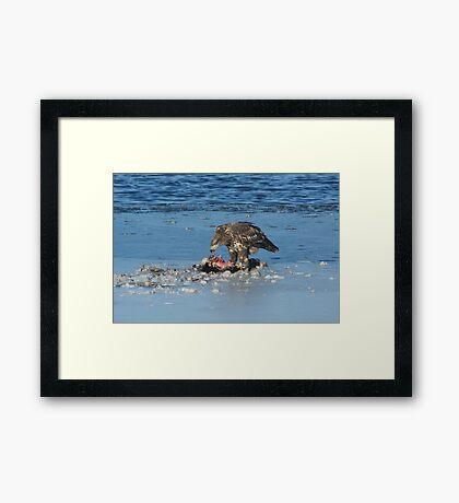 Juvenile bald eagle eating prey Framed Print