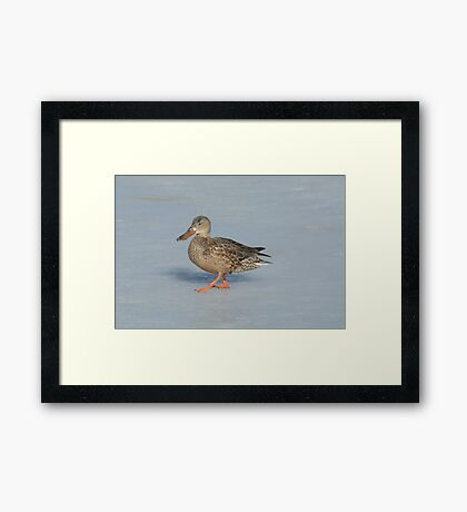Northern Shoveler Duck Hen Framed Print