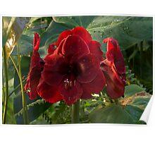 Vivid Scarlet Amaryllis Flowers - Happy Holidays! Poster