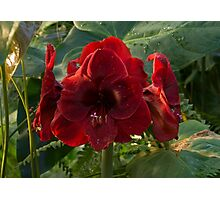 Vivid Scarlet Amaryllis Flowers - Happy Holidays! Photographic Print