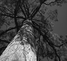 Scary Tree- Messmate, Mount Lofty Botanic Gardens by Ben Loveday