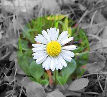 Last Daisy by sammiejayjay