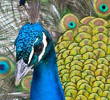 Head shot of Peacock by sanyi
