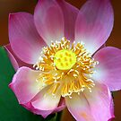Large Water Lily (Lotus) Flower, Thailand  by Carole-Anne