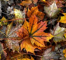A Leaf Among Leaves ~ Leaves Fall Colors ~ by Charles & Patricia   Harkins ~ Picture Oregon