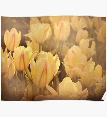 Tulip flowers in the garden - faded Poster