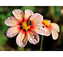 Pink Dahlias and a Bee Photographic Print