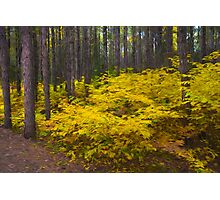 Algonquin Forest Photographic Print