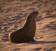 Australian Sea Lion at sunset by Erik Schlogl