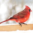 Cardinal in snow storm by Jim  Hughes