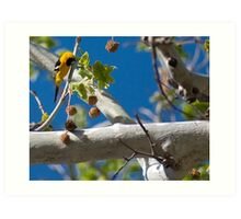 Extremely Yellow Hooded Oriole Art Print
