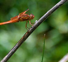 Dragonfly by randymir