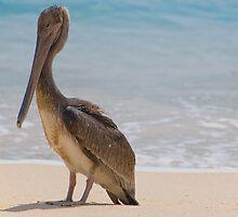 Brown Pelican by randymir
