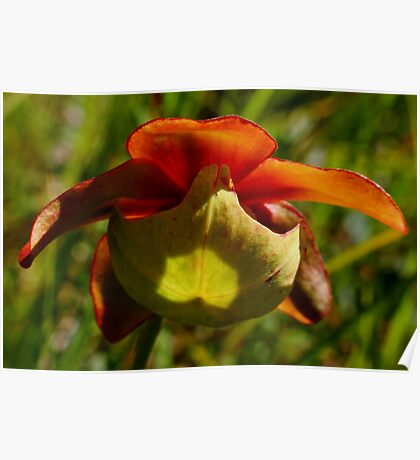 Pitcher-plant flower Poster