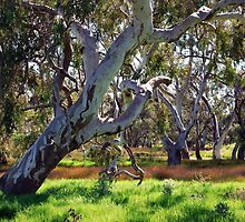 Strong Oz Eucalyptus Tree By Lorraine McCarthy by Lozzar Landscape