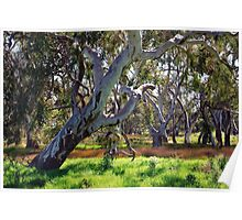 Strong Oz Eucalyptus Tree By Lorraine McCarthy Poster